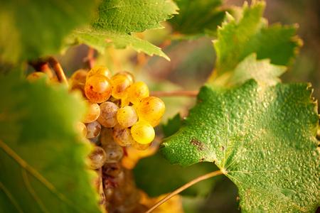 green grapes in vine. morning sun light