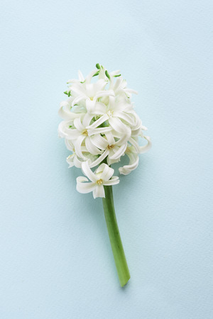 white hyacinth flower on blue background Stok Fotoğraf