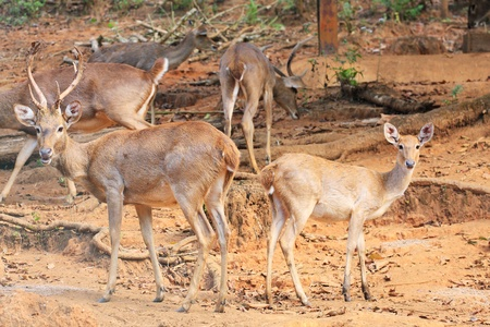black tail deer: barking deer in zoo