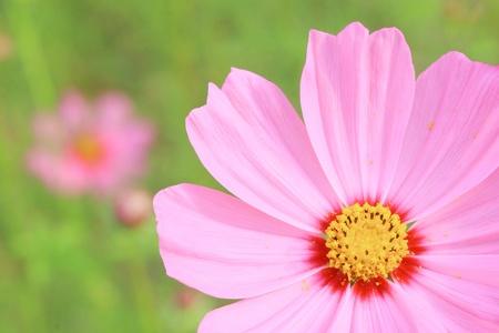 pink cosmos flower in garden photo