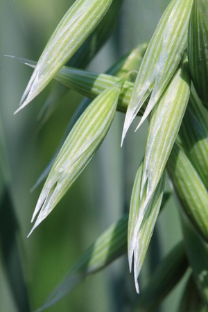 wild oats: close-up wild oats, Shallow DOF Stock Photo