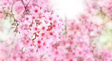 cerezos en flor: Tailandia Sakura, las flores de cerezo con rayos de sol Foto de archivo