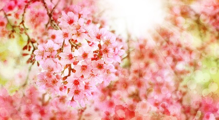 Thai Sakura, Cherry blossoms with sun rays on grunge background photo