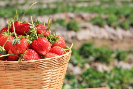 Basket of fresh strawberries photo