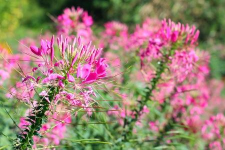 beautiful pink spider flower in field photo