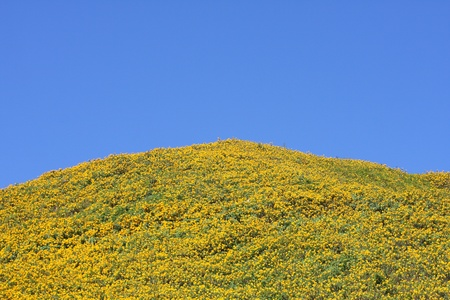 raod: sunflowers filed cover mountains with clear blue sky Stock Photo
