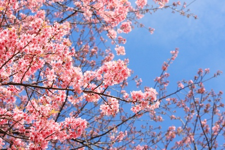Thai sakura blooming in winter, North of Thailand