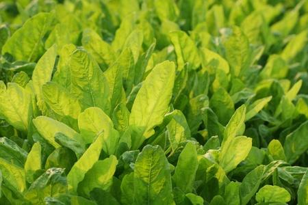 romaine: Fresh green growing leaf salad