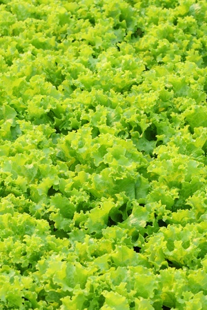 Leaves of green lettuce background photo