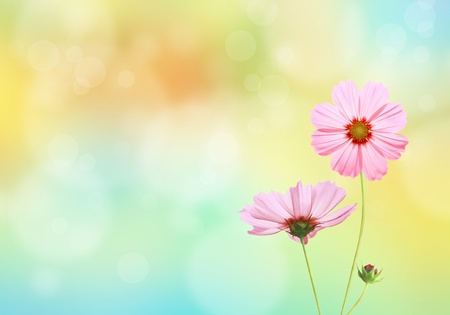 Cosmos flowers with spring background photo