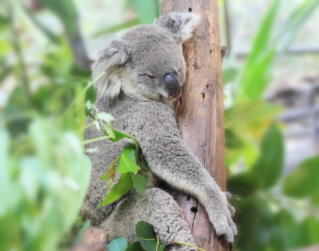 koala bear: Koala bear, sleeping on tree