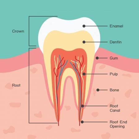 歯の解剖学  イラスト・ベクター素材