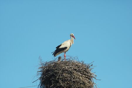 Stork isolated on whiteStork stands in a nest of folded small wooden twigs Stockfoto