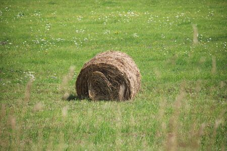 Hay on the field, twisted in large rolls prepared for the winter.