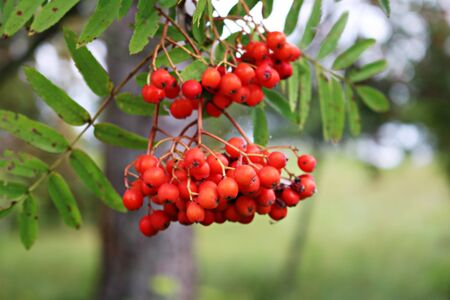 Red, juicy berries on the branches of Sorbus aucuparia on a sunny summer day.