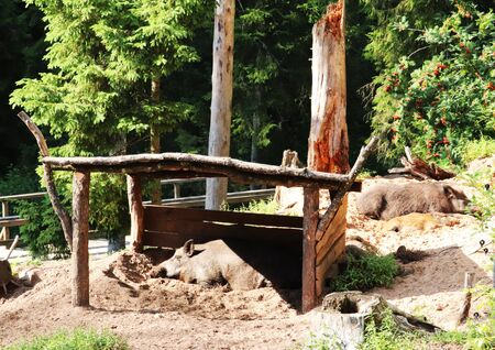 Wild boars on a sunny day hide from the rays of the sun under a wooden canopy.