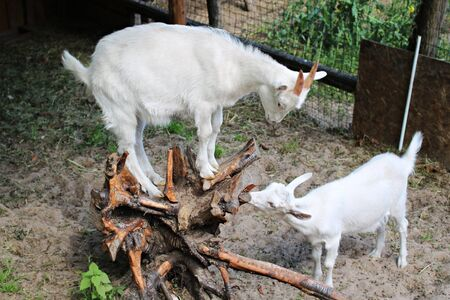A goat with white hair stands on the rhizome of a tree standing in a stable.