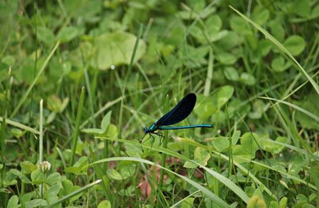Dragonfly of unusually beautiful color in the thickets of reeds on the lake in the forest. Stock Photo
