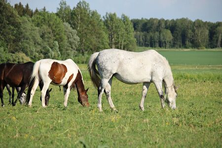 Domestic horses graze in a green meadow on a warm sunny day.