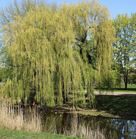 Willow green branches bend low over the smooth surface of the water. Zdjęcie Seryjne