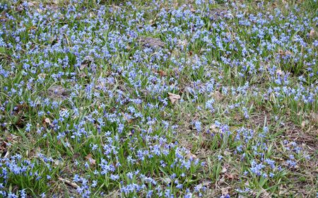 Delicate blue flowers Scilla siberica on the edge of the forest in early spring.