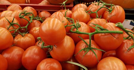 Ripe big red tasty tomatoes harvested in a greenhouse in winter.
