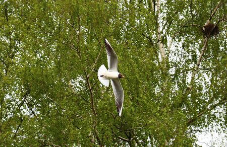 Seagulls soar against the background of green tree branches at a small rivulet.