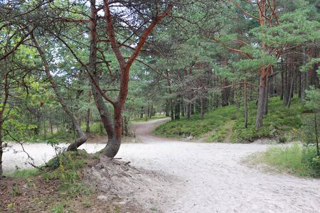 Sandy soil in a pine forest on the coast of the Gulf of Riga.