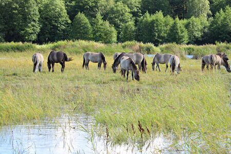 Horses graze in a green meadow by the pond on the outskirts of the village.
