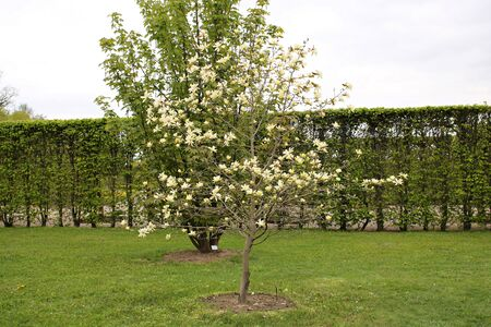 Small Magnolia acuminata tree blooming in large beautiful white flowers on a cloudy day Stok Fotoğraf