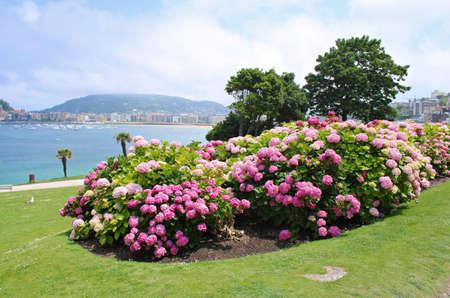Flowering Hortense bushes near the sandy beach in the Spanish resort town of Donostia-San Sebastian in the summer of 2019.