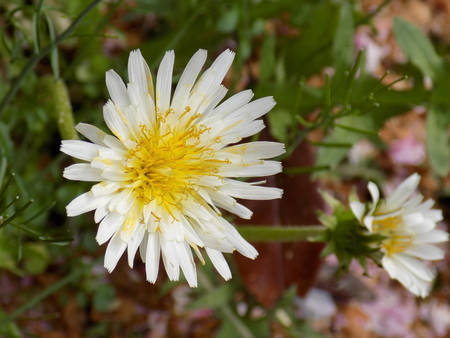 White flower dandelion Taraxacum albidum dandelion (Taraxacum albidum) Archivio Fotografico