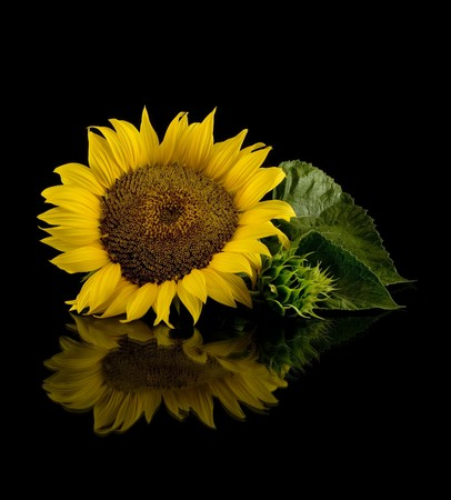 Sunflower in black Stock Photo