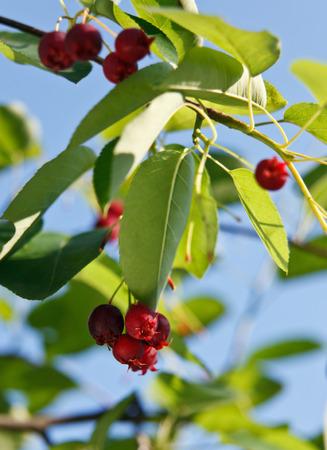 Close-up van cranberry's in de tuin Stockfoto - 60544281