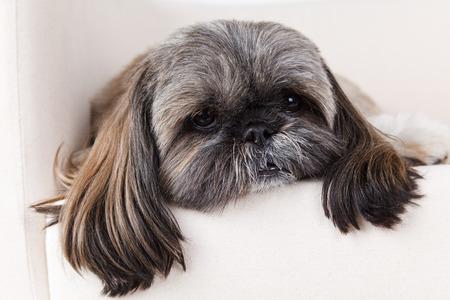 Close-up van een oude en zieke hond Stockfoto