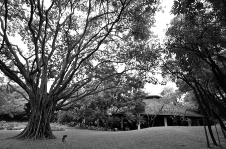 Black and white image of a large tree Stock Photo