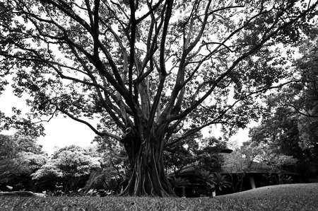 Black and white image of a large tree Zdjęcie Seryjne