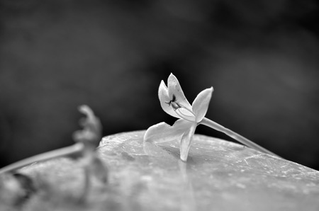 Black and white image of a White flowers on the ground