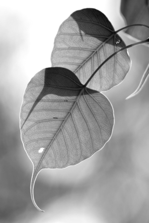 close up leaf, The leaves of the Bodhi tree