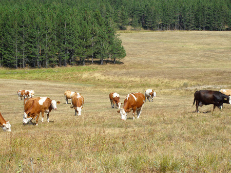 Cows in the field,Zlatibor,Serbia