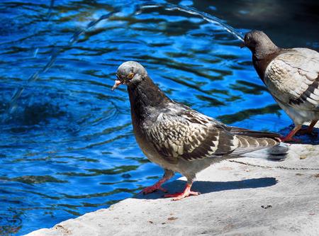 Pigeon on the fountain Banco de Imagens