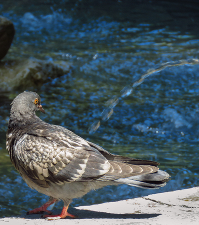 Pigeon in the fountain on a very hot day Banco de Imagens