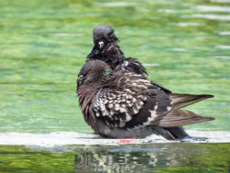 Pigeons taking a bath in the public fountain in Belgrade downtown.