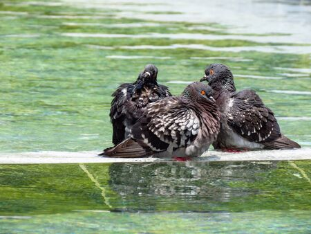 Pigeons taking a bath in the public fountain in Belgrade downtown.