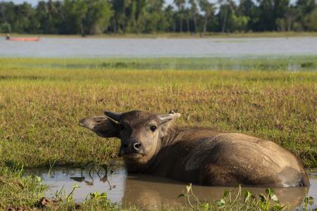 Buffalo grazing in marshy swamp area Reservoir