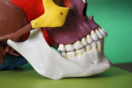 dentition: cranium modell Stock Photo