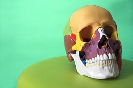 dentition: cranial model