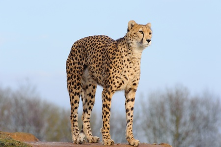 arching: Cheetah looking and arching back on a rock