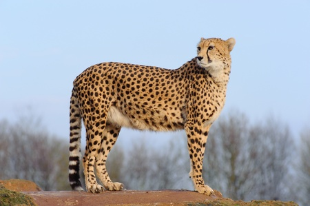 Cheetah standing on a rock and looking back  photo