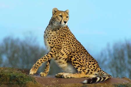 Cheetah auf Felsen sitzt sieht Alarm Standard-Bild - 9544518